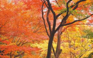 世界一美しいと言われる日本の紅葉